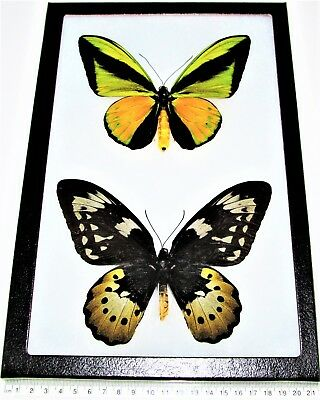 Real Framed Butterflies Ornithoptera Goliath Supremus Birdwing Pair Male Female