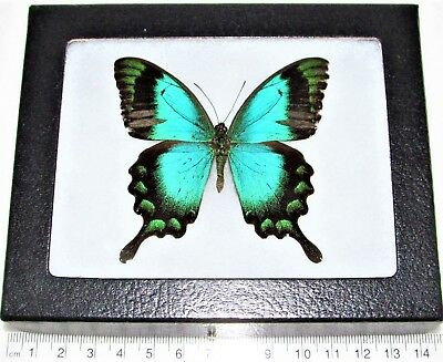Real Framed Butterfly Blue Green Papilio Lorquinianus Albertisi Indonesia