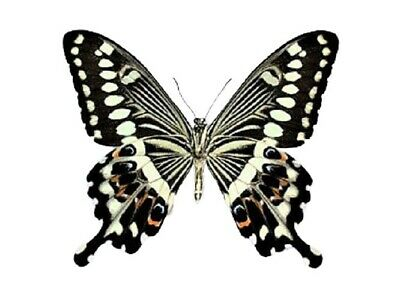 One Real Butterfly Papilio Lormieri Verso Africa Unmounted Wings Closed