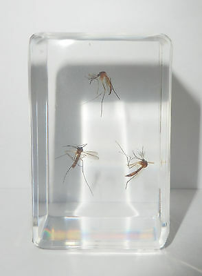 Yellow-banded Crane Fly Mosquito 3 Specimens in Clear Block Education Aid