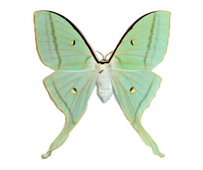 One Real Green Luna Moth Actias Selene Ningpoana Female Unmounted Wings Closed