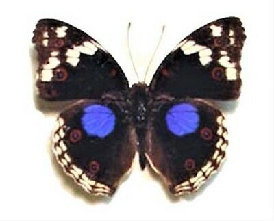 Lot Of 10- Real Butterfly Blue Junonia Oenone Precis Clelia Buckeye Wings Closed