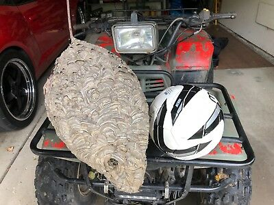Bald Face Hornet Nest Bee Hive For Civil War MAN CAVE Taxidermy Paper Wasp 16x12