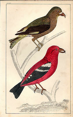 Pair Of Crossbills - Print From Goldsmith/cuvier (1866), Original Hand-Colouring