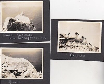 3 Old Photo Animal Birds Gannets Sanctuary Cape Kidnappers 1930S E3