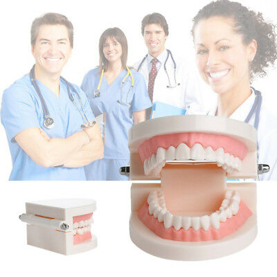1X Dental Teaching Study Adult Standard Typodont Demonstration Tooth Teeth Model