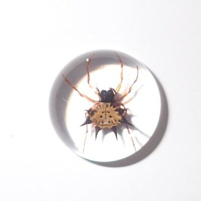 Insect Cabochon Spiny Spider Specimen Round 19 mm Clear 1 Piece Lot