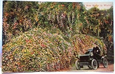 1910 Postcard A Rose Hedge In Winter, Early Car
