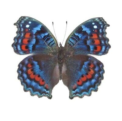 One Real Butterfly Red Blue Precis Octavia South Africa Unmounted Wings Closed
