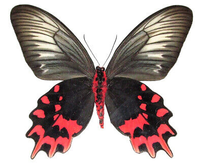 One Real Butterfly Pink Red Atrophaneura Semperi Female Unmounted Wings Closed