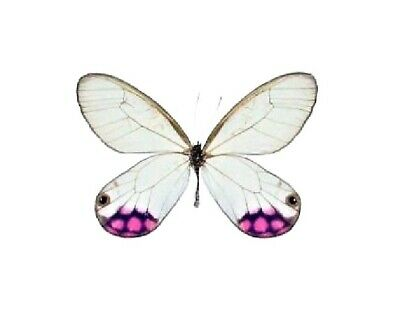 One Real Butterfly Pink Purple Cithaerias Pyropina Peru Unmounted Wings Closed