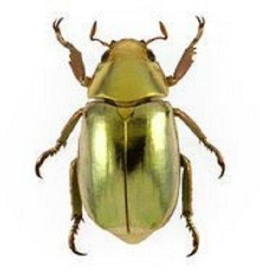 One Real Gold Scarab Beetle Chrysina Resplendens A1 Perfect Unmounted Pinned