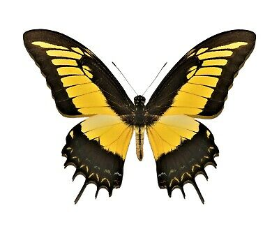 One Real Papilio Androgeus Yellow Swallowtail Peru Unmounted Wings Closed