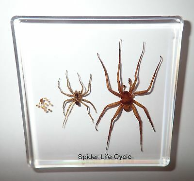 Ghost Spider Life Cycle Simplified Set Education Specimen Slide