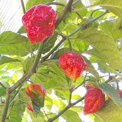 Trinidad Moruga Scorpion Chili - 15 Seeds - Capsicum Chinense - ULTRA Hot Chili