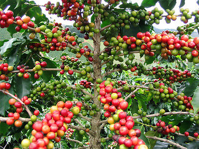 Coffee Tree (Coffea arabica) - 20  Seeds collected OCTOBER 2018