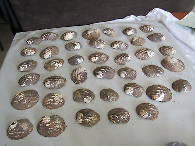 Set of 40 Fifty Year Old Stock Mother of Pearl Unpolished Clam Shell 7 Pounds