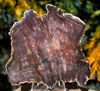SiS: INCREDIBLE BURMESE JELUTONG FOSSIL Petrified Wood Slab from MYANMAR!