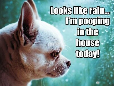 CHIHUAHUA Looks Like Rain Pooping in the House Magnet 4 x 3in