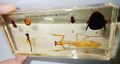Six Kinds of Beneficial Insect Specimen Set in Amber clear block Teaching Aid