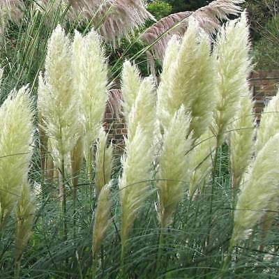 Cortaderia Selloana - White Pampas Grass - 150 Seeds