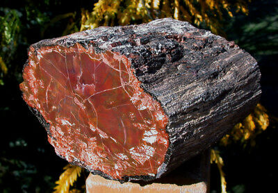 SiS: RARE SMALLER 7.7 lb. ARIZONA RAINBOW Petrified Wood Log - PERFECT SHAPE!