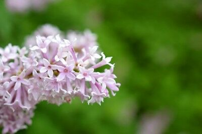 Syringa villosa (Late Lilac) - 40 seeds. Very hardy and easy to train Lilac.