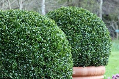 Buxus microphylla sinica (Chinese Boxwood) - 50 seeds.  Perfect for hedging