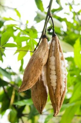 Ceiba pentandra (Kapok / Silk Cotton Tree) - 25 seeds. Perfect for indoor Bonsai