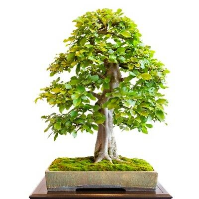 Carpinus betulus (Common Hornbeam) - 30 seeds.  Ideal for Hedging & Bonsai.