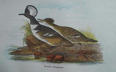 """Antique Tinted Engraving 5.5x9"""" Bookplate of HODED MERGANSER Duck"""