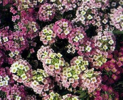 Annual Flower Seeds - Select Your Desired Varieties from a List