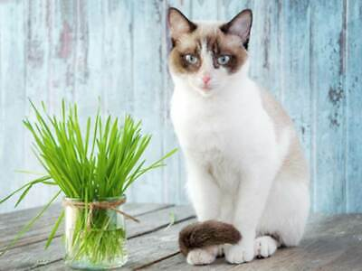 Cat Grass Oat Seeds     binC22