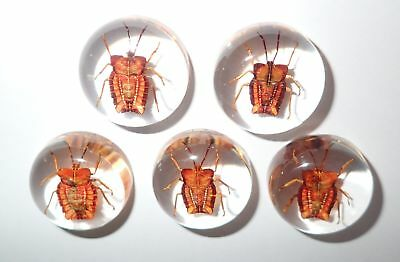 Insect Cabochon Ghost Bug Specimen 25 mm Round Clear 5 pieces Lot