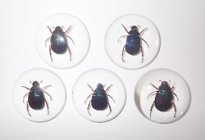 Insect Cabochon Blue Scarab Beetle Specimen 35 mm Round Clear 5 pieces Lot
