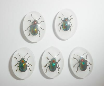 Insect Cabochon Shining Leaf Beetle Oval 18x25 mm on white 5 pieces Lot