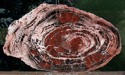 "SiS: BOLDLY RINGED 22"" Arizona Rainbow Petrified Wood Conifer Round - TABLE TOP!"