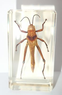 Spotted Grasshopper in 73x40x22 mm Amber clear Block Education Insect Specimen