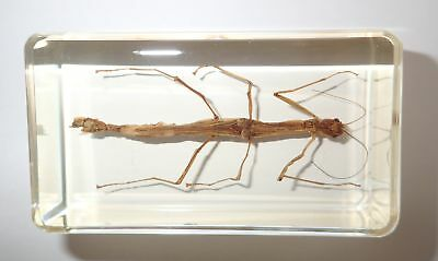 Stick Insect in 73x40x22 mm Clear Block Real Education Specimen