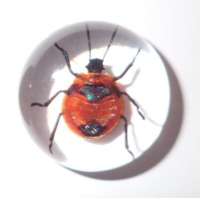 Insect Cabochon Flower Bug Poecilocoris latus 25 mm Round Clear 1 piece Lot