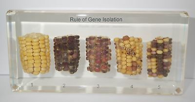 DNA Pattern of Corn Set Rule of Gene Isolation in Clear Block Learning Aid