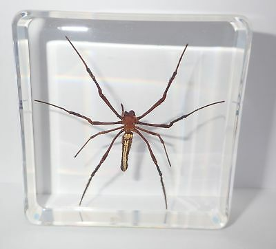 Giant Wood Spider Nephila maculata 76 mm Square Block Clear Education Specimen
