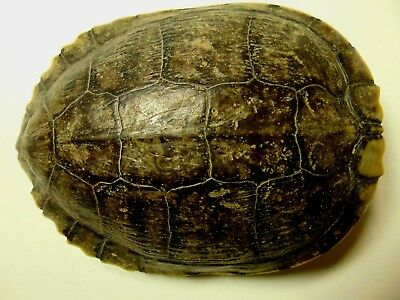 Box-Turtle Shell Taxidermy Non - endangered species Crafting / 38083-anfib