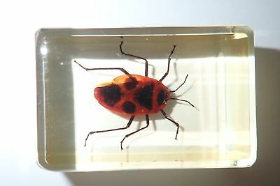 Black Spot Red Bug in Amber Clear Paperweight Education Specimen