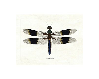 Elegant Dragonfly - Vintage Insect Print - Giclee Quality Unframed Poster