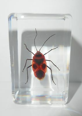Black Spot Red Bug Parastrachia napaensis Clear Paperweight Education Specimen