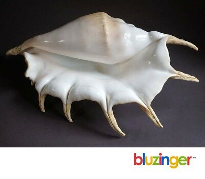 Vintage Deep Sea Spikey Spider Conch Shell 13+ inches