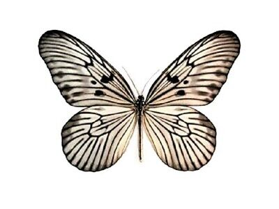 One Real Butterfly White Black Rice Paper Idea Blanchardi Unmounted Wings Closed