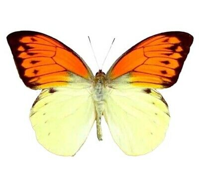 One Real Butterfly Orange Yellow Hebomoia Leucippe Unmounted Wings Closed