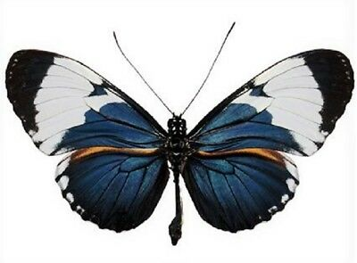 One Real Butterfly Blue White Heliconius Cydno Peru Unmounted Wings Closed